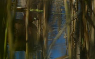 Lille Lappedykker yngler kun med ganske få par idag. Tidligere var den et almindeligt indslag i mosens kanaler og vandhuller i rørskoven. Færre vandinsekter kan være en forklaring. Beskrevet i Felthåndbogen F&N Foto: © Troells Melgaard, 2008