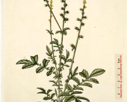 Agrimonia-eupatoria