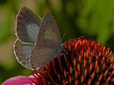 celestrina-argiolus