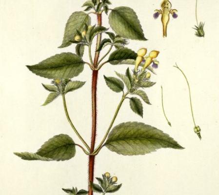 galeopsis-speciosa