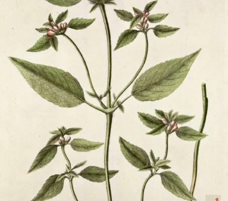 galeopsis-tetrahit_almindelig-hanekro_0