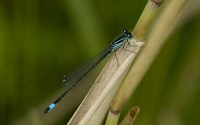 ischnura-elegans