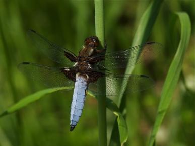 libellula-depressa