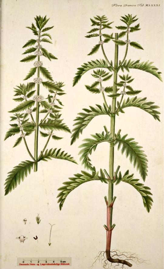 lycopus-europaeus
