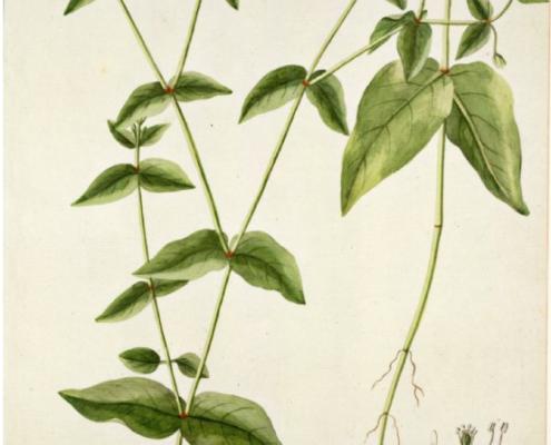 myosoton-aquaticum