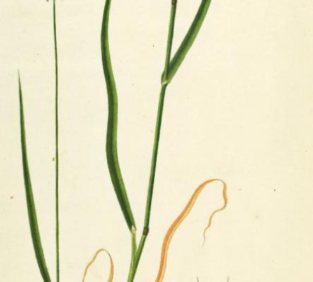 prunus-spinosa