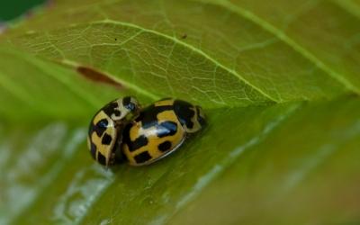 propylea-quatordecimpuncta
