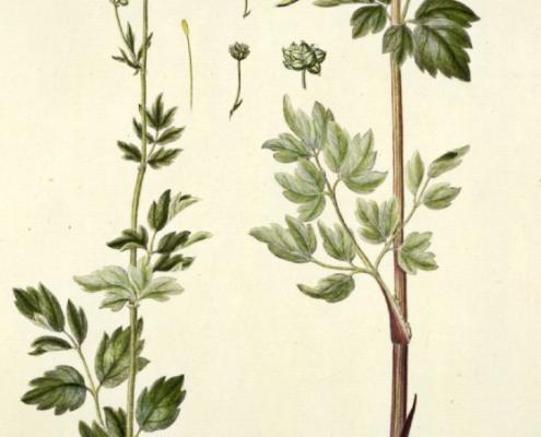 thalictrum-flavum