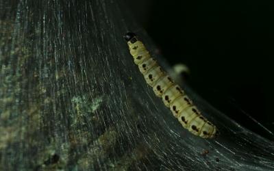 yponomeuta-evonymella